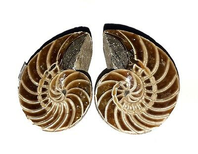 AAA Quality Ammonite Fossal Natural Loose Gemstone 2 Piece(pair)34x22 mm 125Ct