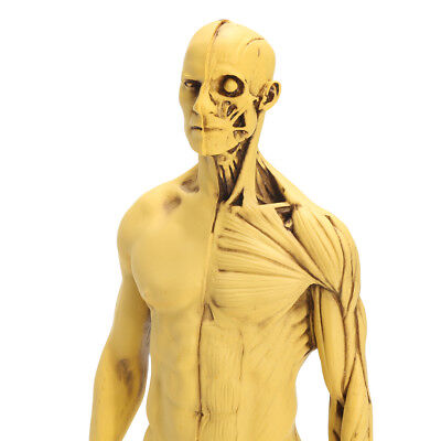 30cm Height Human Anatomical Anatomy Skull Sculpture Head Body Model Muscle