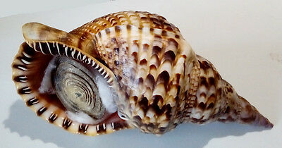 Conchiglia Shell CHARONIA VARIEGATA W/O Brasile 270 mm # FRESH COLLECTED