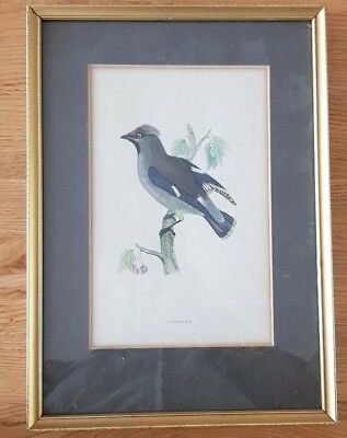 19Th Century Framed Hand Coloured Engraving Of A Waxwing By Frank Lydon.