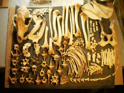 Taxidermy skeleton real coyote  dissarticulated clean sorted by bone type female