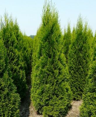 Pallet 20X 4-5Ft Large Thuja Smaragd White Cedar Hedging Trees - Evergreen Rb