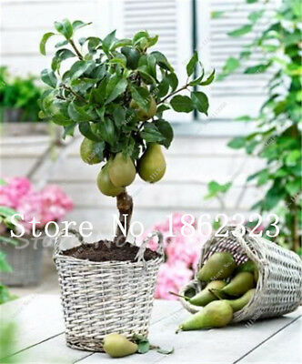 10 pcs Rare Original Fruit Seeds Pear Seeds, Bonsai Tree Seeds, Rare Plant For
