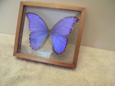 Collectible Taxidermy Vibrant Blue Butterfly Insect Display in Wood Frame