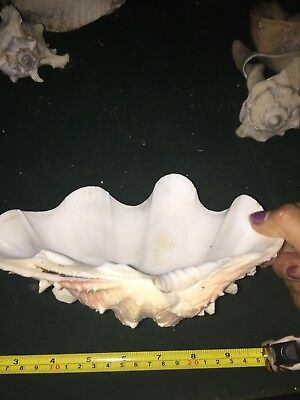 """Large 8"""" x 5"""" x 2.5"""" Giant Natural Clam Shell Tridacna Gigas Seashell"""