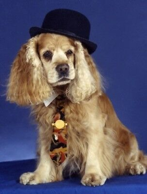 Pet Notecards Dog Cocker Spaniel with hat