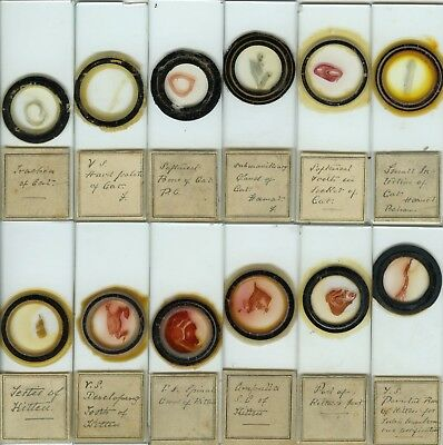12 Cat Microscope Slides by Unknown Maker