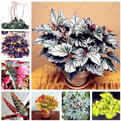 100 Pcs Seeds Mixed Color Begonia Bonsai Potted Flowers Outdoor Lantern NEW 2018