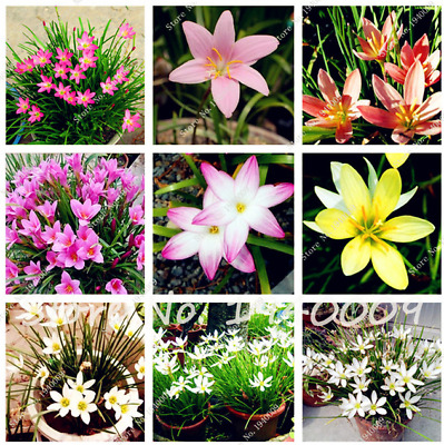 100 Pcs Seeds Zephyranthes Candida Bonsai Lily Flowers Indoor Plants NEW 2018 X