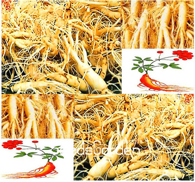 100 Pcs Seeds Chinese Ginseng Panax Potted Bonsai Plants Flowers Garden NEW 2018