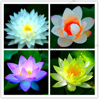 Bonsai Flowers Victoria Amazonica Giant Water Lily Lotus Garden 10 Pcs Seeds NEW