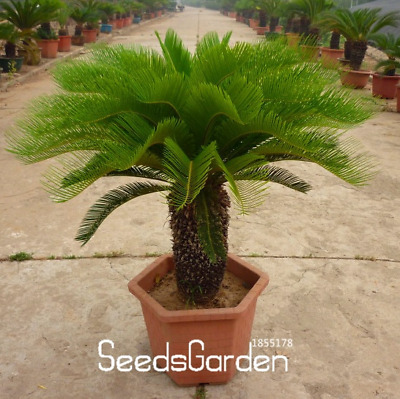 Cycas Plants Bonsai Potted Flowers Garden Household Items 50 PCS Seeds NEW 2018