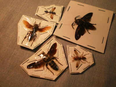 5 insects location data Wasp species  2 inches A 1 megascolia azurea etc.