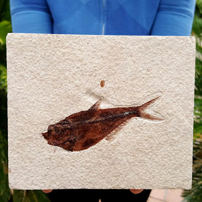 Very Fine Fifty Million Year Old Eocene Age Green River Fossil Fish