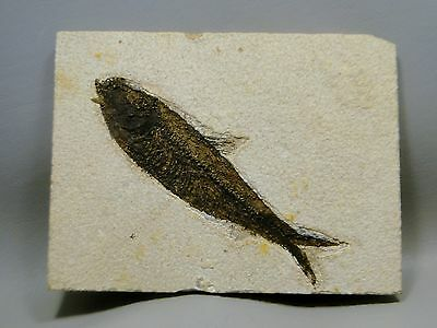 Fossil Fish Knightia Eocaena 6.75 inch Fossil Lake Green River Wyoming #15