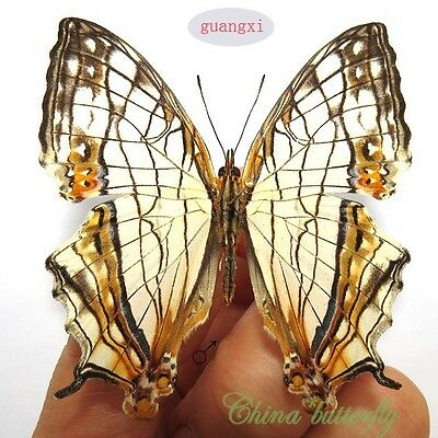 5 unmounted butterfly Nymphalidae cyrestis thyodamas GUANGXI A1  A1-