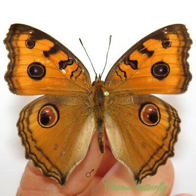 WHOLESALE 50 unmounted butterfly Nymphalidae Sasakia charonda CHINA A1