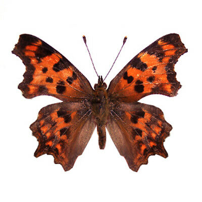 2 unmounted butterfly Nymphalidae polygonia c-album A1