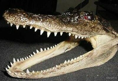 "REAL 8"" GATOR HEAD OFF 4' FLORIDA AMERICAN ALLIGATOR skull  teeth AUTHENTIC"
