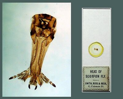 Antique Victorian Microscope Slide ~ Head of Scorpion Fly ~ Smith Beck & Beck