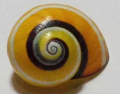 Polymita ] Beautiful Land Snail 24.45 Mm ] Old Collection ]