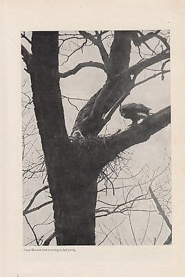 1905 Article: Stalking Hoot Owls with a Camera Photography Herbert K Job