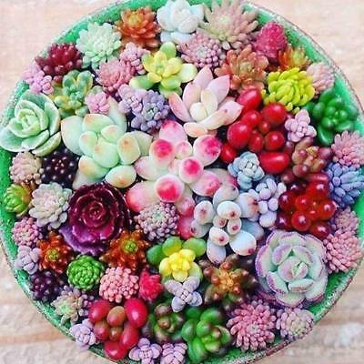 100 pcs/bag Real Mini Succulent Cactus Seeds Rare Perennial Herb Home Bonsai New