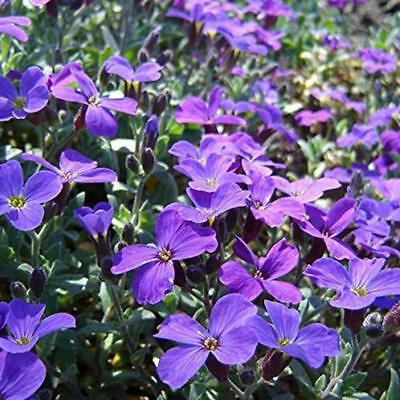 300pcs Aubrieta seeds Cascade Purple Flower Rock Cress seeds Hot Sale