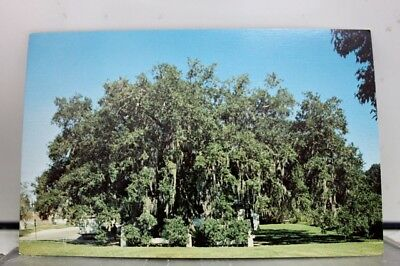 Louisiana LA Evangeline Oak St Martinsville Postcard Old Vintage Card View Post