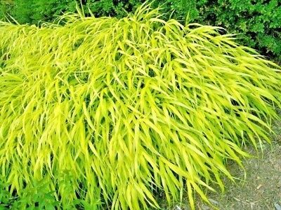 30 ALL GOLD JAPANESE FOREST GRASS SEEDS - Hakonechloa macra 'All Gold '
