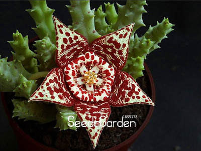 100 PCS Seeds Succulent Carrion Bonsai Potted Plants Flowers Garden NEW 2019 S P