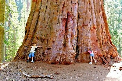 25 COAST ( GIANT ) REDWOOD SEEDS - Sequoia sempervirens