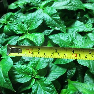 Lot of 3 YELLOW DEVIL'S TONGUE Super Hot Pepper LIVE PLANTS up to 325,000 SHU