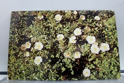 Georgia GA State Flower Cherokee Rose Postcard Old Vintage Card View Standard PC