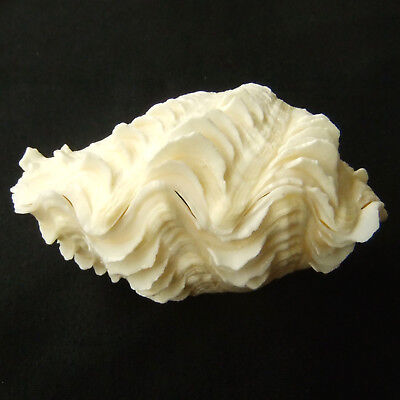 1 Pair Tridacna Squamosa Fluted Giant Scaly Clam 11cm Natural Seashell 416-3