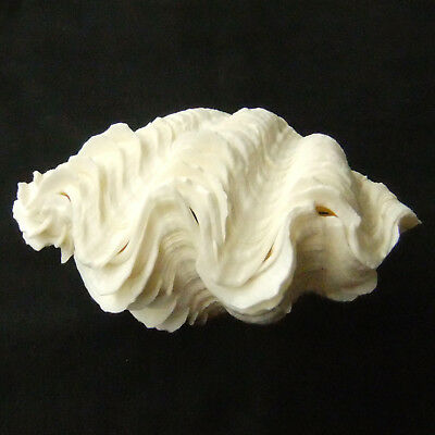 1 Pair Tridacna Squamosa Fluted Giant Scaly Clam 11cm Natural Seashell 412-5