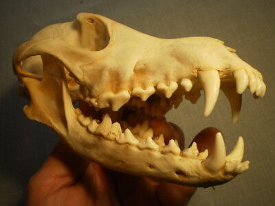 Western Coyote Taxidermy SKULL 7 3/4   inches HUGE great teeth
