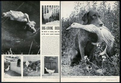 1949 Chespaeake Bay Retreiver and duck friend photo vintage print article