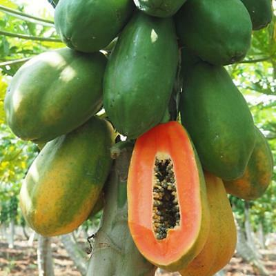 30Pcs Maradol Dwarf Papaya Tree Seeds High Germination Best Organic Sweet Fruits