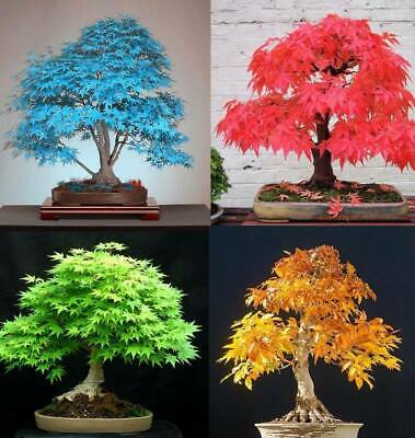20Pcs Japanese Maple Tree Seeds 5 Kinds Rare Acer Palmatum Bonsai Potted Plants