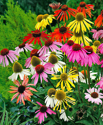 100Pcs Echinacea Perennial Flower Seeds Rare viable flowers for decor garden