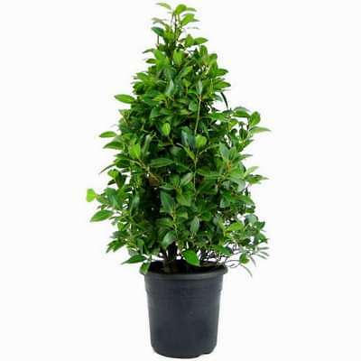 20Pcs Bay leaf Laurus Tree Seeds Laurel Noble Natural Product At Your Home