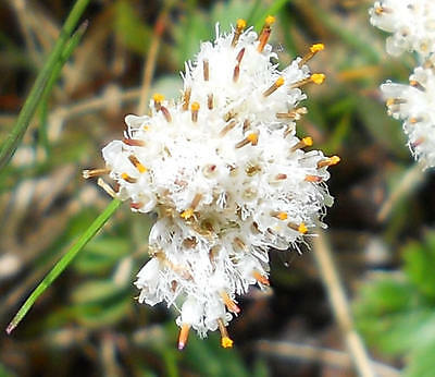 30  PLAINTAIN LEAVED PUSSYTOES SEEDS - Antennaria plantaginifolia
