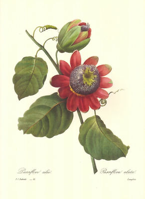 Vintage Print by Redoute ~ 10 by 13 inches ~ Passion Vine #091