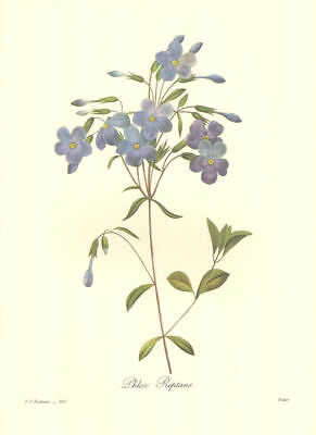 Vintage Print by Redoute ~ 10 by 13 inches ~ Blue Phlox #100