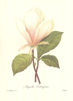 Vintage Print by Redoute ~ 10 by 13 inches ~ White Magnolia #077