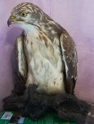 Buse Naturalisee Taxidermie Excellent Etat Annees 1970