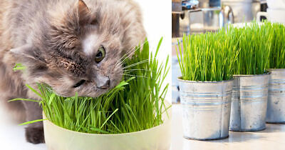 100+ Organic Sweet Oat Cat Grass Seeds Grow Your Own Cat Grass Aids Digestion
