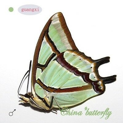 10 unmounted butterfly Nymphalidae Polyura narcaea GUANGXI SPRING FORM A1 A1-