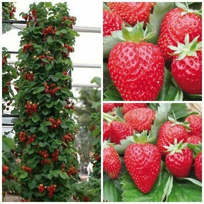 100Pcs Climbing Strawberry Seeds Blue Red Colors Super Tasty High Harvest 🍓🍓🍓
